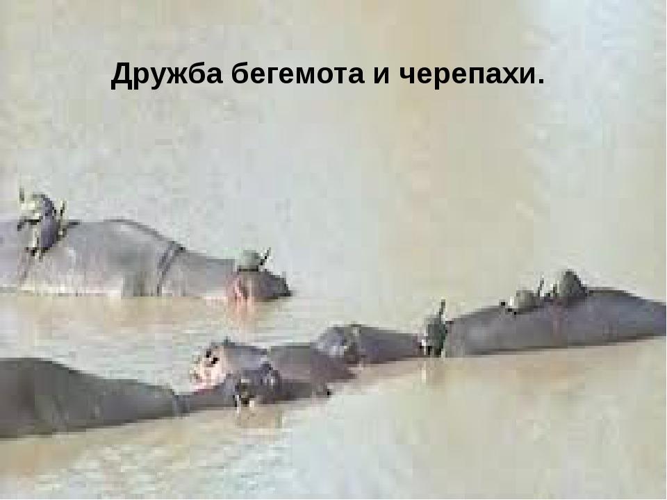 Дружба бегемота и черепахи.