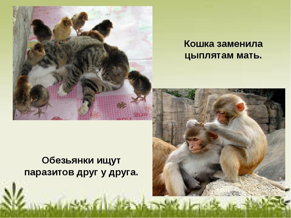 Кошка заменила цыплятам мать. Обезьянки ищут паразитов друг у друга.