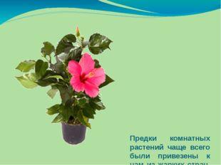 Предки комнатных растений чаще всего были привезены к нам из жарких стран, из