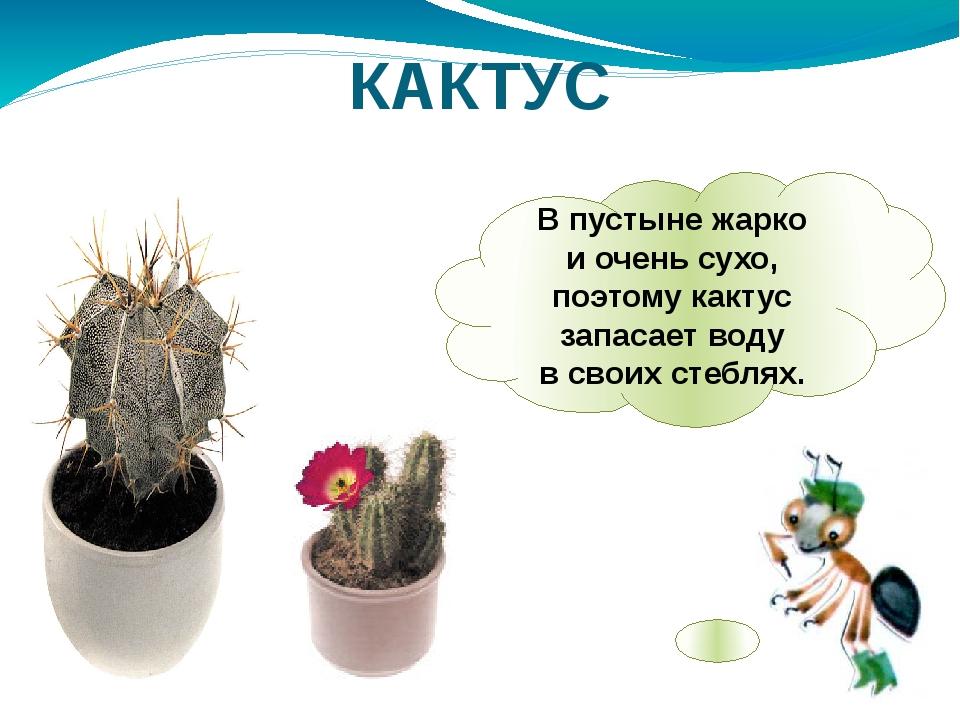 Впустыне жарко иочень сухо, поэтому кактус запасает воду всвоих стеблях. К...