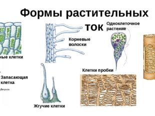 Формы растительных клеток Зелёные клетки Запасающая клетка Корневые волоски О