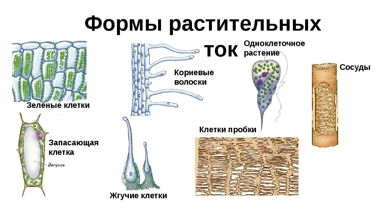 Формы растительных клеток Зелёные клетки Запасающая клетка Корневые волоски О...