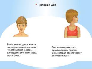 Голова и шея В голове находится мозг и сосредоточены все органы чувств: зрени