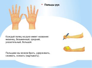 Пальцы рук Каждый палец на руке имеет название: мизинец, безымянный, средний,