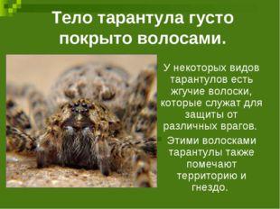 Тело тарантула густо покрыто волосами. У некоторых видов тарантулов есть жгуч