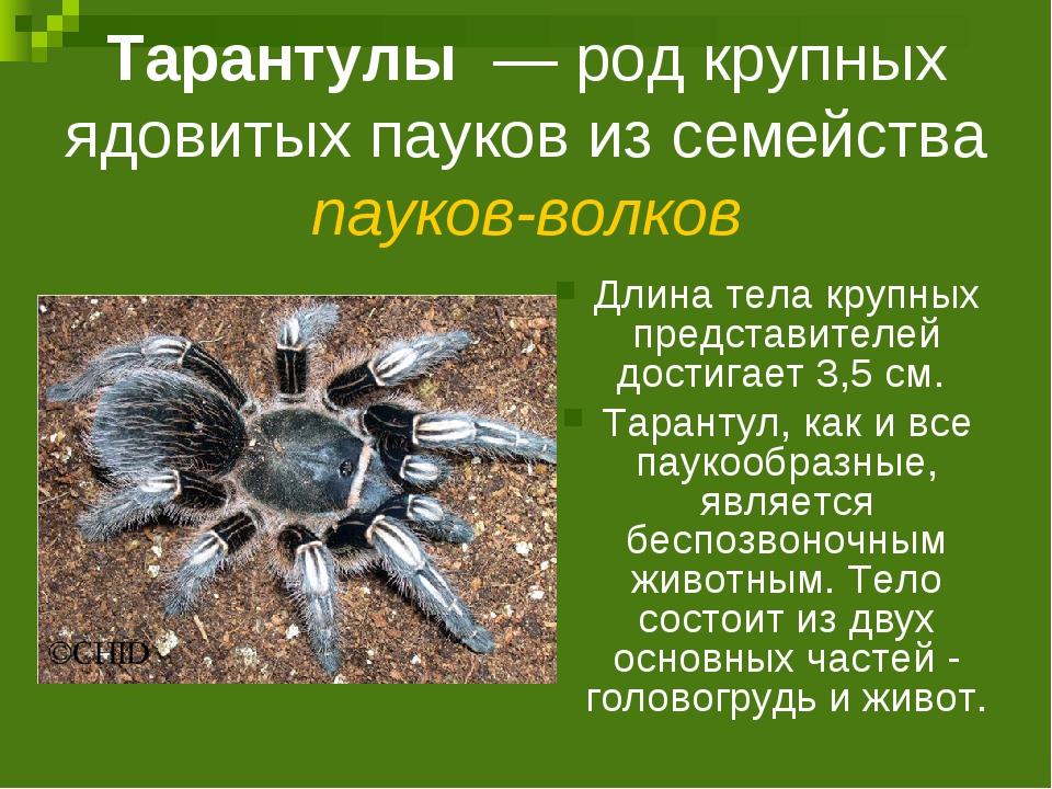 Тарантулы — род крупных ядовитых пауков из семейства пауков-волков Длина тел...