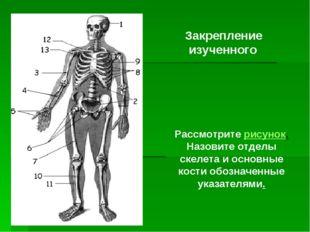 Рассмотрите рисунок. Назовите отделы скелета и основные кости обозначенные у