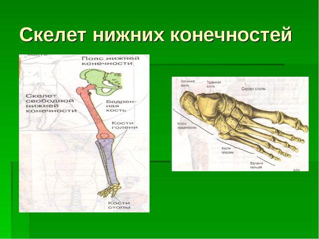 Скелет нижних конечностей