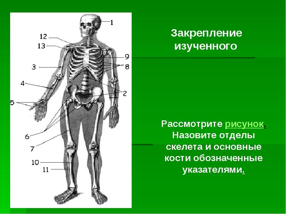 Рассмотрите рисунок. Назовите отделы скелета и основные кости обозначенные у...