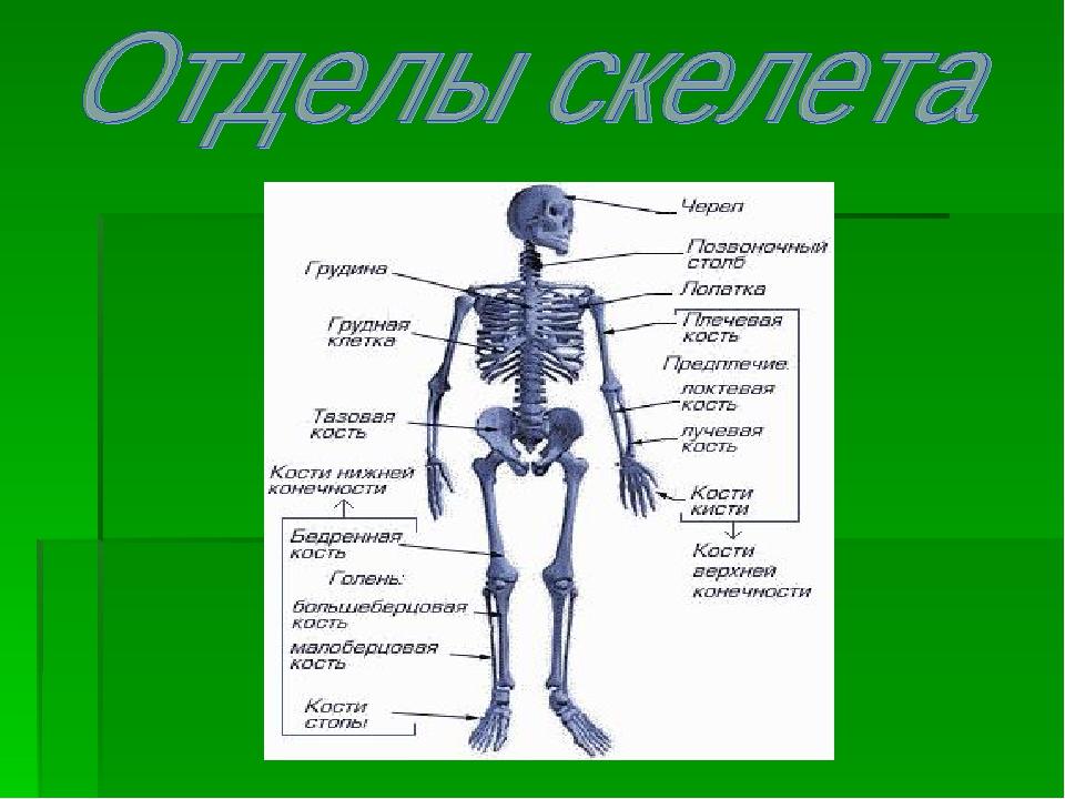 снимок, скелет и его отделы в картинках них носит