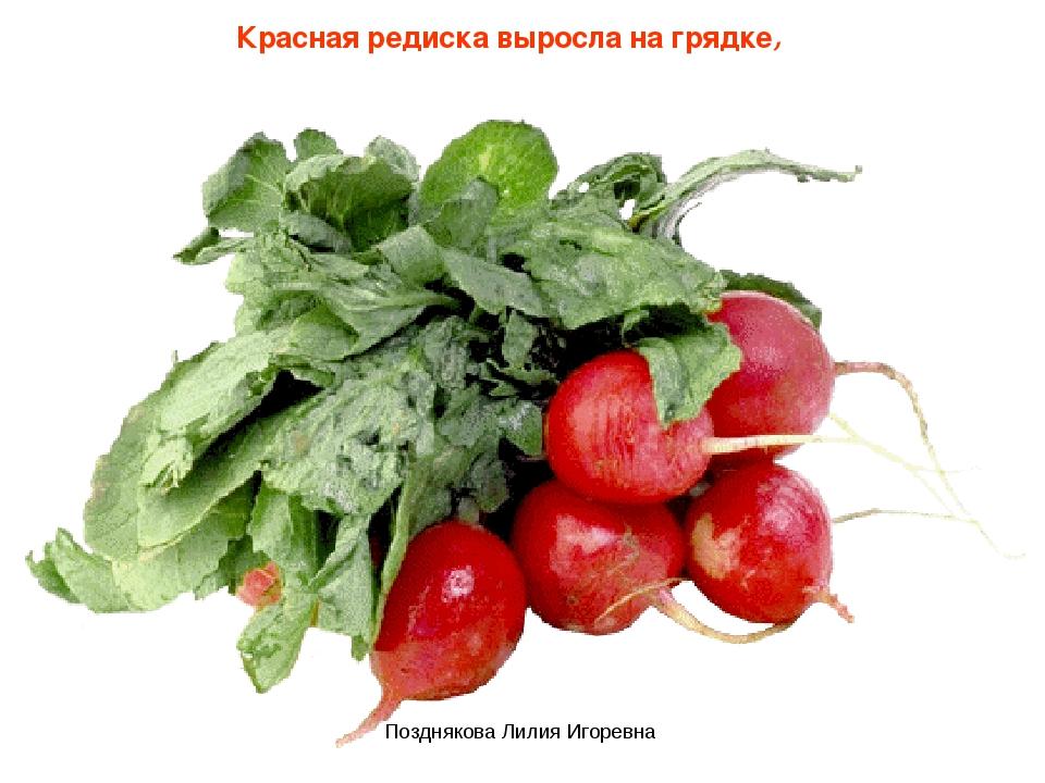 Красная редиска выросла на грядке, Позднякова Лилия Игоревна Позднякова Лилия...