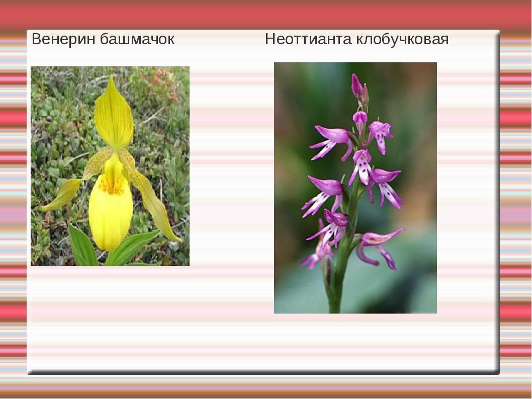 Венерин башмачок Неоттианта клобучковая