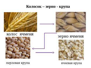 зерно ячменя Колосок – зерно - крупа колос ячменя