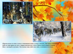 Шерсть волка за лето и осень и становится очень густой и теплой. Это волку не
