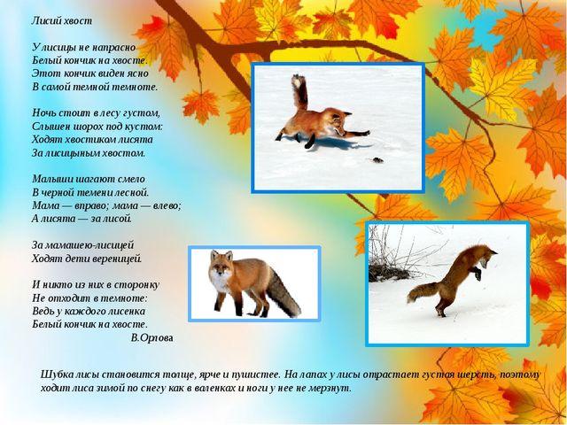 Шубка лисы становится толще, ярче и пушистее. На лапах у лисы отрастает густа...