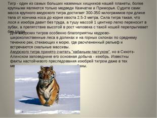 Тигр - один из самых больших наземных хищников нашей планеты, более крупными