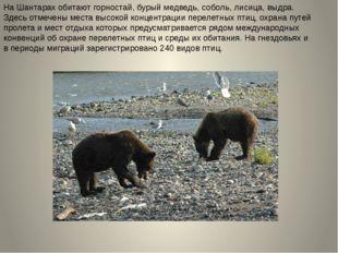 На Шантарах обитают горностай, бурый медведь, соболь, лисица, выдра. Здесь от