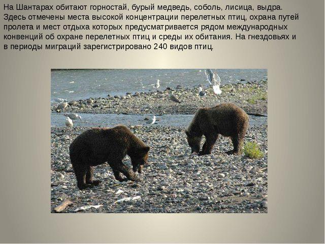 На Шантарах обитают горностай, бурый медведь, соболь, лисица, выдра. Здесь от...