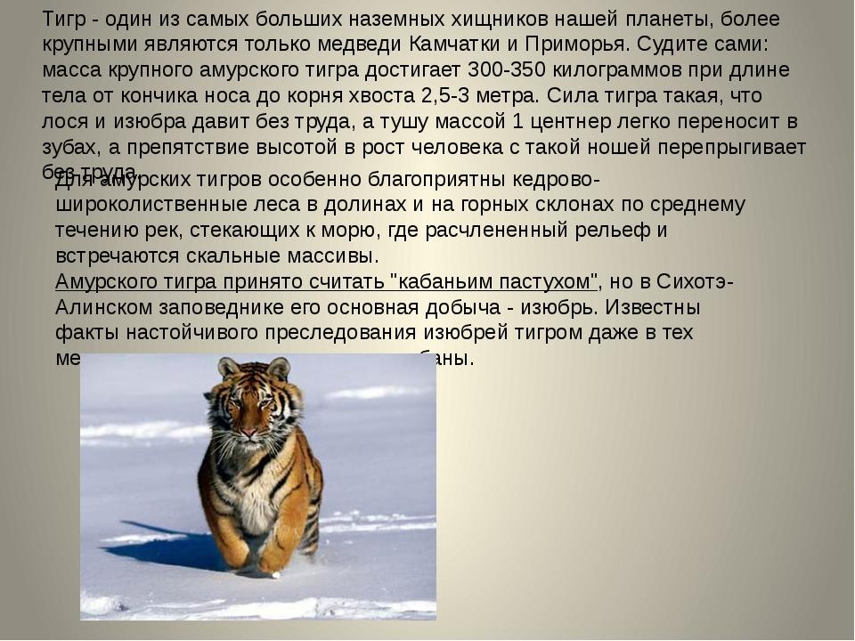 Тигр - один из самых больших наземных хищников нашей планеты, более крупными...