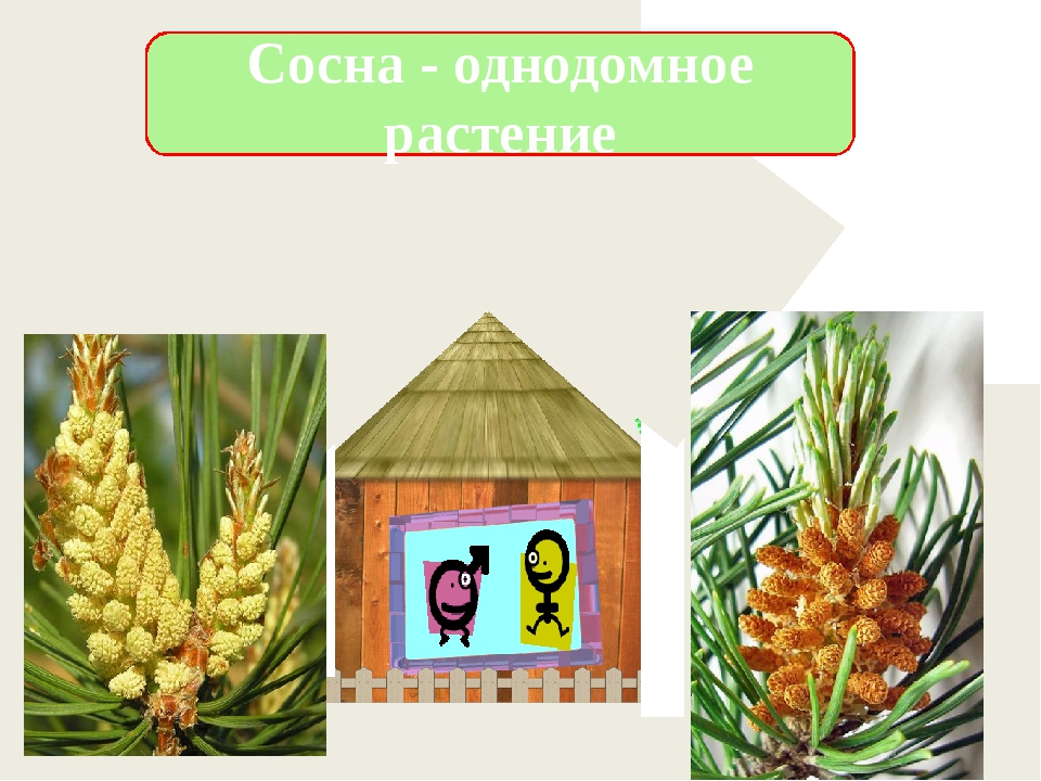 Сосна - однодомное растение