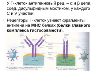 У Т-клеток антигенновый рец. – α и β цепи, соед. дисульфидным мостиком, у каж