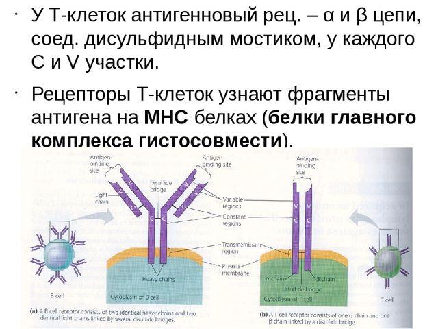 У Т-клеток антигенновый рец. – α и β цепи, соед. дисульфидным мостиком, у каж...