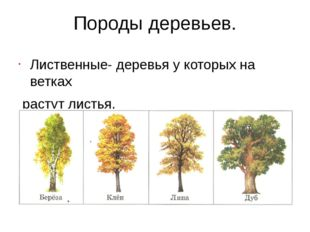 Породы деревьев. Лиственные- деревья у которых на ветках растут листья. расту