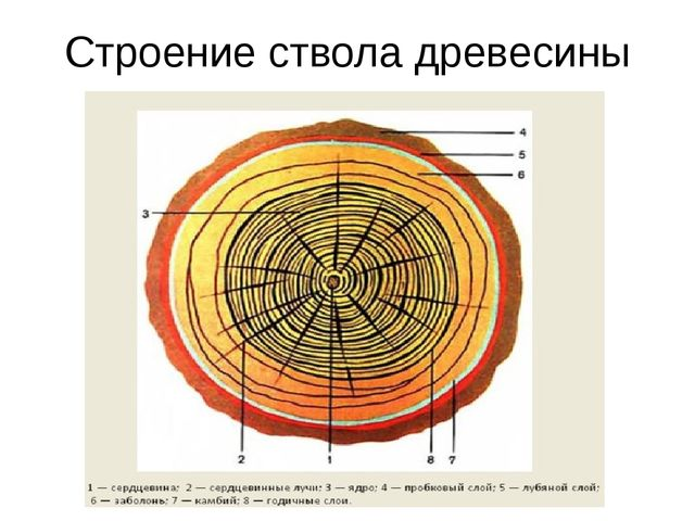 Строение ствола древесины