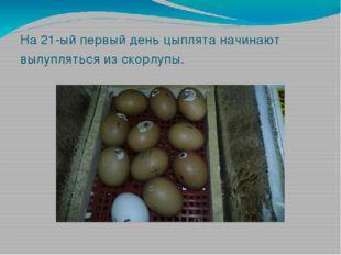 На 21-ый первый день цыплята начинают вылупляться из скорлупы.