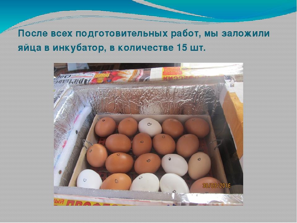 После всех подготовительных работ, мы заложили яйца в инкубатор, в количестве...