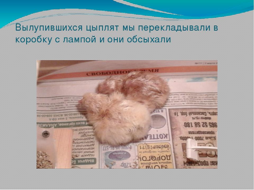 Вылупившихся цыплят мы перекладывали в коробку с лампой и они обсыхали