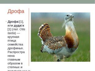 Дрофа Дрофа́[1], илидуда́к[1](лат.Otis tarda)— крупная птица семействадр