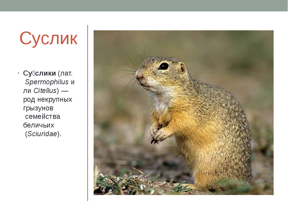 Суслик Су́слики(лат.SpermophilusилиCitellus)— род некрупныхгрызуновсем...