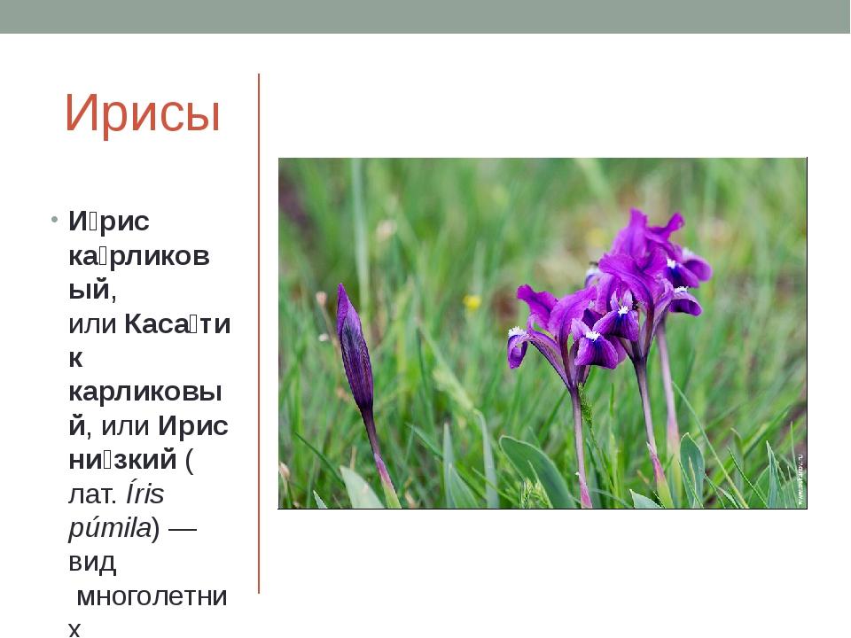 Ирисы И́рис ка́рликовый, илиКаса́тик карликовый, илиИрис ни́зкий(лат.Íris...