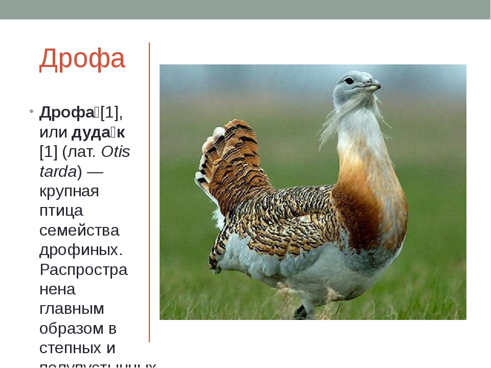 Дрофа Дрофа́[1], илидуда́к[1](лат.Otis tarda)— крупная птица семействадр...