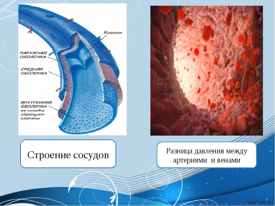 Строение сосудов Разница давления между артериями и венами