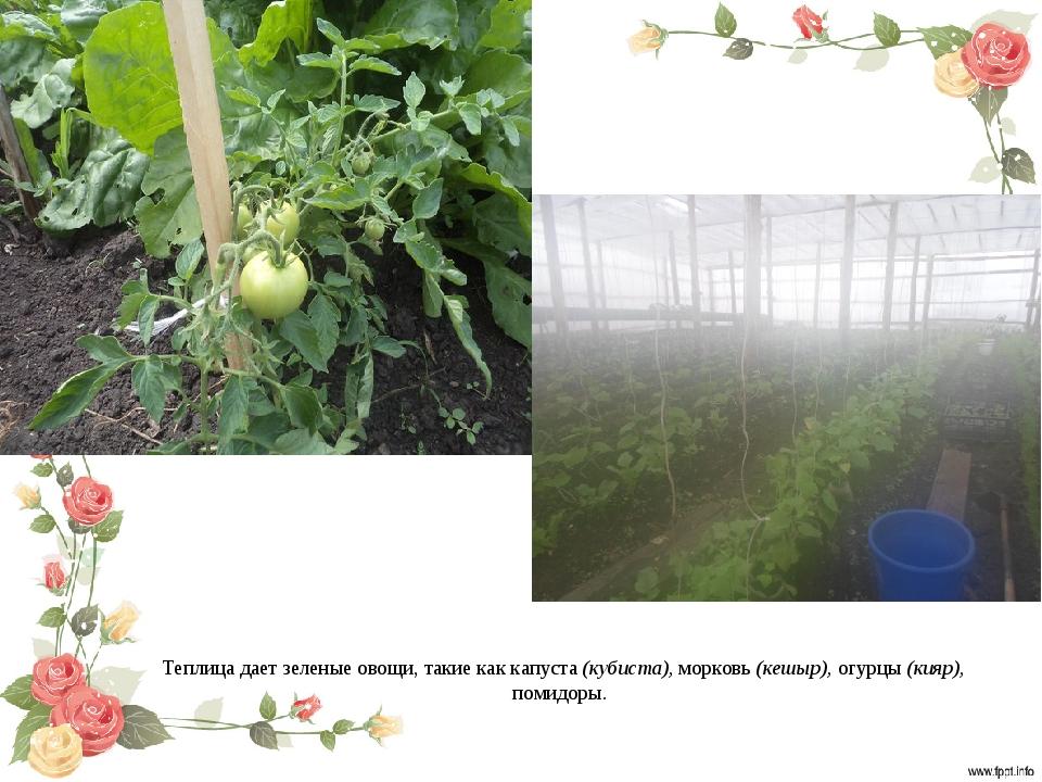 Теплица дает зеленые овощи, такие как капуста (кубиста), морковь (кешыр), огу...