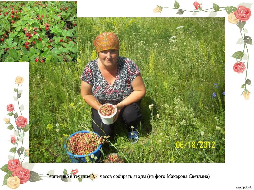 Терпеливо в течение 3, 4 часов собирать ягоды (на фото Макарова Светлана)