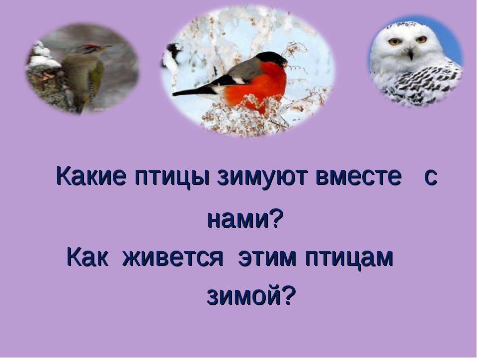 Какие птицы зимуют вместе с нами? Как живется этим птицам зимой?