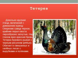 Тетерев Довольно крупная птица, величиной с домашнюю курицу. Оперение самца ч