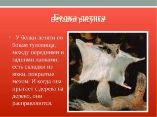 Белка-летяга У белки-летяги по бокам туловища, между передними и задними лапк