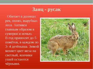 Заяц - русак Обитает в долинах рек, полях, вырубках леса. Активен главным обр