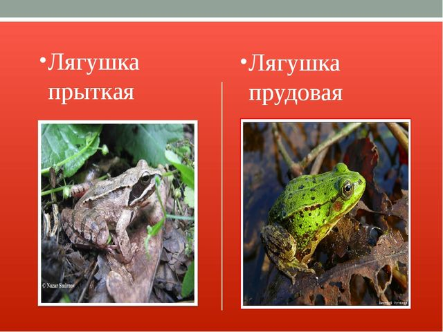 Лягушка прыткая Лягушка прудовая