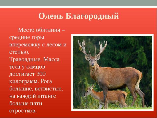 Олень Благородный Место обитания – средние горы вперемежку с лесом и степью....