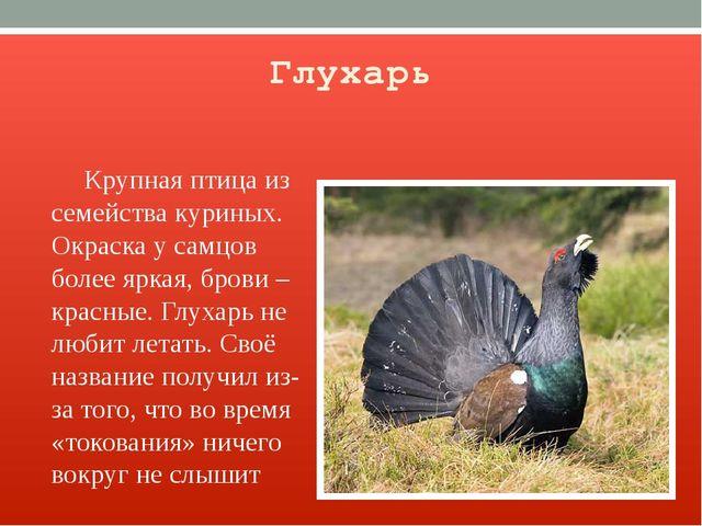 Глухарь Крупная птица из семейства куриных. Окраска у самцов более яркая, бро...
