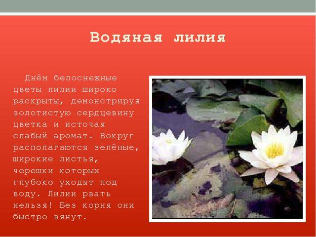 Водяная лилия Днём белоснежные цветы лилии широко раскрыты, демонстрируя золо...