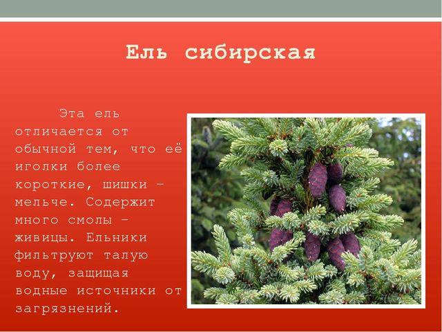 Ель сибирская Эта ель отличается от обычной тем, что её иголки более короткие...