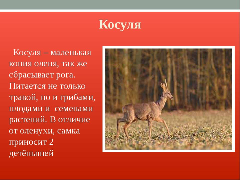 Косуля Косуля – маленькая копия оленя, так же сбрасывает рога. Питается не то...