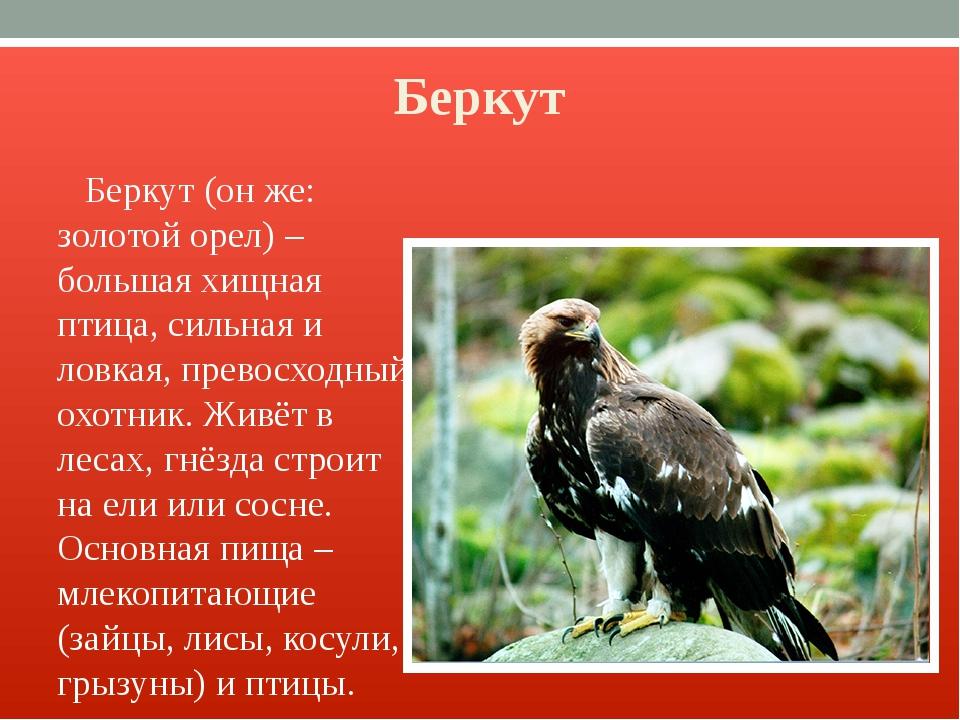 Беркут Беркут (он же: золотой орел) – большая хищная птица, сильная и ловкая,...