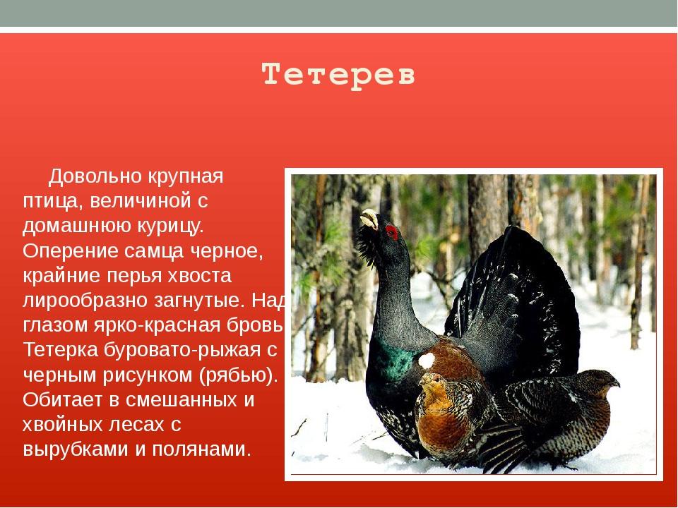 Тетерев Довольно крупная птица, величиной с домашнюю курицу. Оперение самца ч...